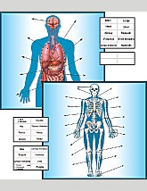 The Human Body Pocket Chart Insert